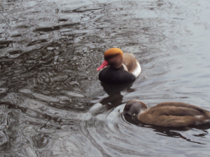 Red crested pochard (pair male and female)